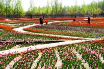 五彩缤纷的郁金香园