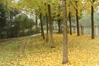 小区秋天的银杏树