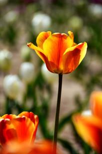 阳光的桔黄色郁金香