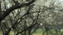 枝头的梅花