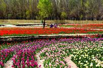 姹紫嫣红的郁金香园