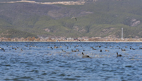 拉市海中的野鸭