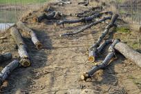 乡村土路采伐树木