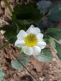 一朵草莓花图片