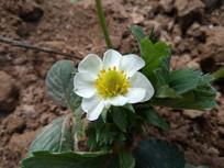 一朵洁白的草莓花图片