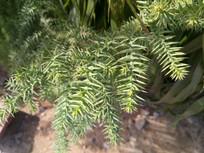 刺一样的枝叶图片