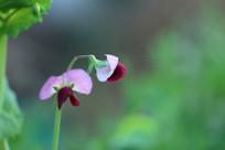 清晨的豌豆花