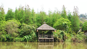 水塘边的水杉树