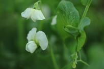 迎风的豌豆花