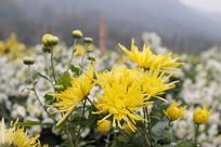 绽放的金丝黄菊