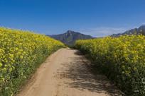 乡间小路两边的油菜花