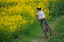 油菜花旁自行车里的狗