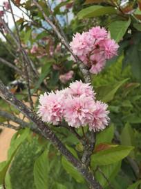 路边盛开的樱花