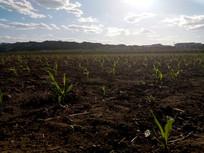 田地里的玉米苗图片