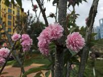 小区边盛开的樱花