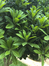 翠绿的杨梅