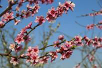 桃花满枝头