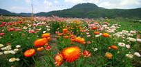 百花齐放的七彩菊