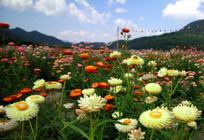 百花争艳的七彩菊