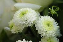 白绿色小雏菊