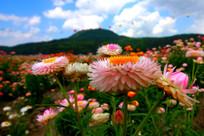 超凡脱俗的七彩菊