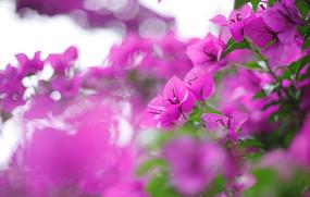 春开紫色花开了