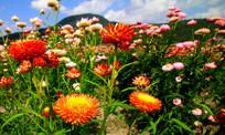 繁华的七彩菊