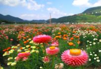 繁花似锦的七彩菊
