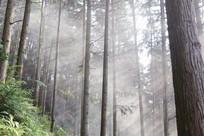 光透过香杉林