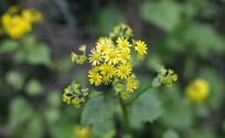 黄色菊花开了