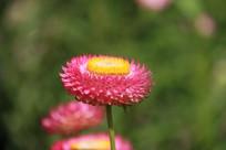 花团锦簇的七彩菊