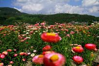 竟相开放的七彩菊