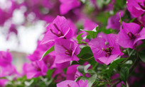 开紫色花的植物