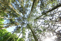 茂盛的香杉