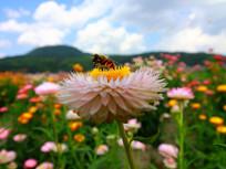 蜜蜂与七彩菊