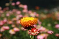 母子情深的七彩菊