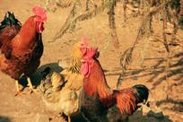 农家自养大公鸡