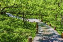 千山梨园梨树与木板路