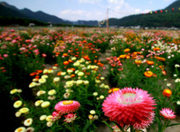 如花似锦的七彩菊