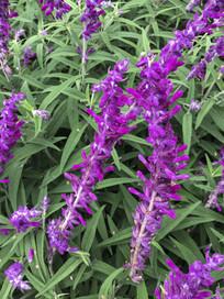 盛开的紫色千屈菜