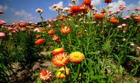 神韵俱嘉的七彩菊