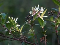 水晶棵子白色的花朵和果实