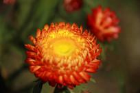 脱俗的七彩菊