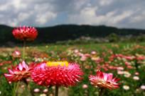 万紫千红的七彩菊