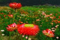 五光十色的七彩菊