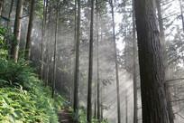 香杉木材林