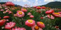 鲜艳美丽的七彩菊