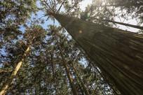 雄壮的杉树林子