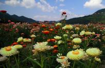 绚丽多彩的七彩菊
