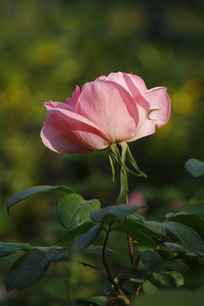 阳光下的粉月季花